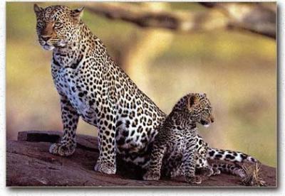 Мои леопарды