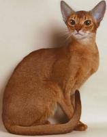 Кошка абиссмнская