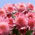 О цветах 8: Немного о хризантемах...