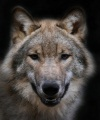 Волки: Мифы о волках