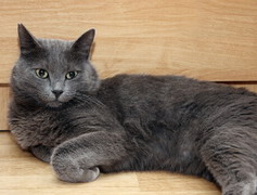 Серая кошка таинство истинного серебра.  Серебристо-серый окрас шерсти кошек...